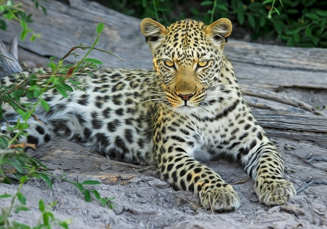 leopard-515508_640